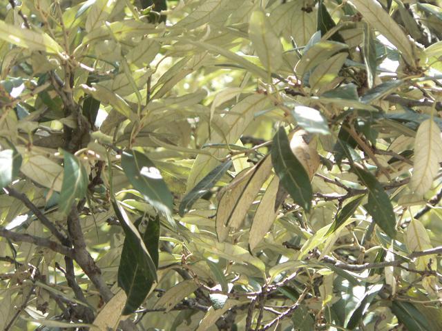 P1070224.Q. scytophylla